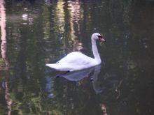 лебедь в нижнем парке