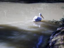 пеликан в нижнем парке