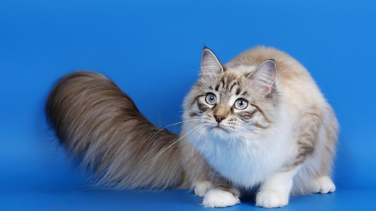 Топ-10 самых больших пород домашних кошек