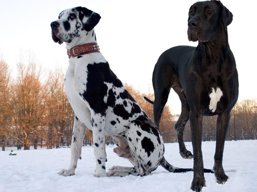 Топ-10 самых больших и высоких собак в мире